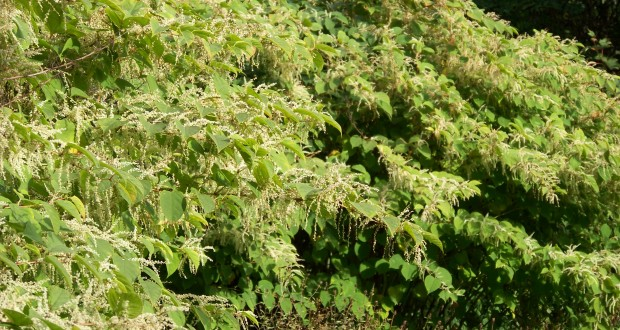 Buildings Insurance With Knotweed